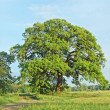 Spring oak tree — Stock Photo