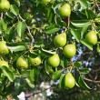 Stock Photo: Green pear on branch