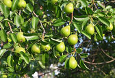Green pear on the branch — Stock Photo