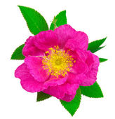 Beautiful dog rose flower with leaves — Stock Photo