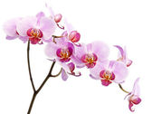 Beautiful orchid isolated on white background — Stock Photo