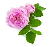 Two beautiful pink roses on white background — Stock Photo
