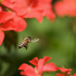 Bee Flies Around Flowers — Stock Photo