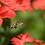 Bee Flies Around Flowers — Stock Photo #5822612