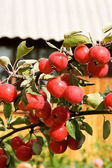 Red apples in green branch — Stock Photo