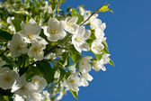 Blossoming apple-tree in the spring — Stock Photo