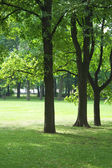 Oak trees on lawn — Stock Photo