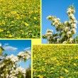 Field from dandelions and apple-tree flowers — Stock Photo