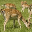 Stock Photo: Fallow deer herd