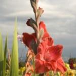 Red gladiolus — Stock Photo