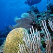 Diver and Brain Coral - Stock Photo