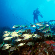 Постер, плакат: Diver and Yellow Tail Snapper