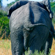 Elephant — Stock Photo #5940607
