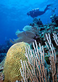 Diver and Brain Coral — Stock Photo