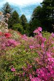 Azelea Forest — Stock Photo