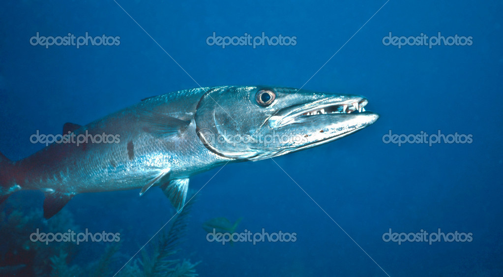 Great Barracuda photographed in St. Lucia on shallow reef. — Stock Photo #5940510