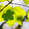 Green Leaves — Stock Photo #5873749