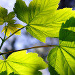 green leaves — Stock Photo #5873750