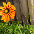 Flower on fence - Stock Photo