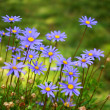 Purple Daisies - Stock Photo