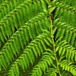 Fern fronds - Stock Photo