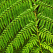 Fern fronds — Stock Photo