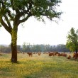 Cows Pasturing - Stock Photo