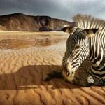 Beach Zebra — Stock Photo