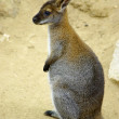 Kangaroo — Stock Photo #5874202