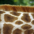 Giraffe&#039;s Neck - Lizenzfreies Foto