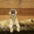 Stock Photo: Sleepy Lions