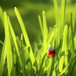 Ladybug in Grass - Stock Photo
