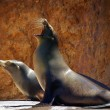 Sea Lions — Stock Photo #5874288