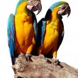 Stock Photo: Parrots Isolated