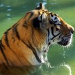 Tiger Bath — Stock Photo