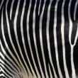 Stock Photo: Zebra Skin