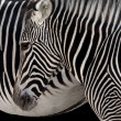 Zebra Head - Stock Photo