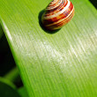 Royalty-Free Stock Photo: Snail on leaf