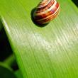 Snail on leaf — Stock Photo #5874658