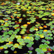 Stock Photo: Water Lily Lake