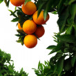 Orange Tree - Stockfoto