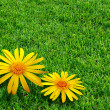 Grass and Daisies - Stock Photo