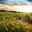 Vineyard - Foto Stock