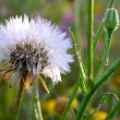 Dandelion - Photo