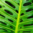 Royalty-Free Stock Photo: Monstera leaf
