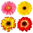 Four Gerberas — Stock Photo