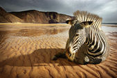 Beach Zebra — Stockfoto