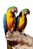 Parrots Isolated — Stock Photo