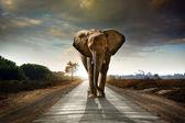 Chodící slon — Stock fotografie