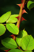 Rose Thorns — Stock Photo